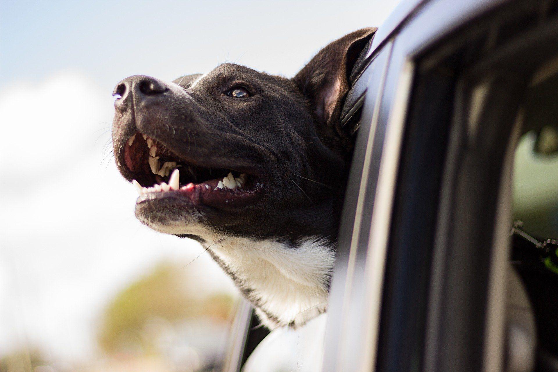 quitar-pelos-perros-coches